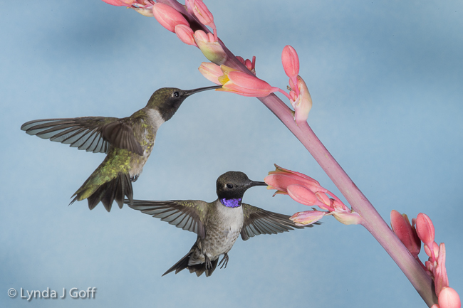 Two hummingbirds in flight, visiting flowers