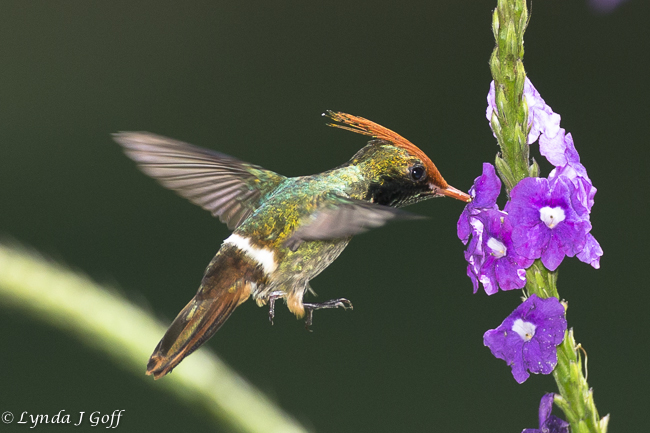 Ruffous Crested Coquette Hummingbird