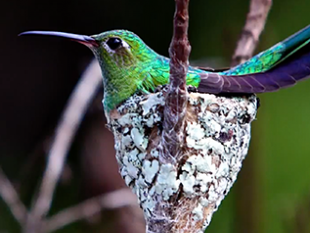 An iridescent green hummingbird sitting in a nest